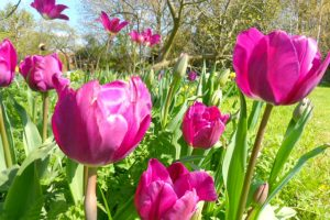 Tulips by the orchard carp lake